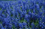 Bluebonnet Bunk 'n Biscuit